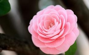 Картинка цветок, макро, розовый, камелия