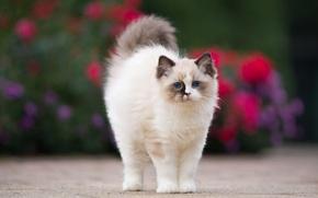 Картинка кошка, цветы, котенок, фон, пушистый, сад, пятна, мордашка, милашка, голубоглазый, отметины, рэгдолл