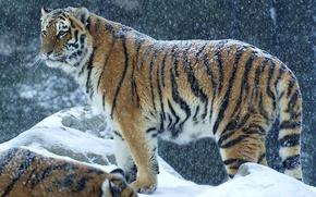 Картинка зима, снег, хищник, Тигр