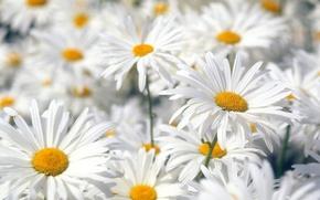 Картинка Цветы, Белый, Ромашки