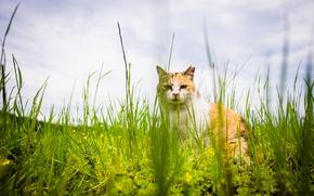Картинка кошка, лето, трава, кот, взгляд