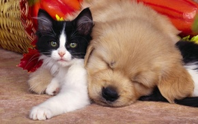 Картинка котенок, сон, дружба, щенок