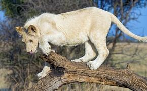 Обои белый лев, хищник, дикая кошка, молодой