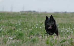 Картинка движение, бег, немецкая овчарка, чёрная собака, чёрная овчарка