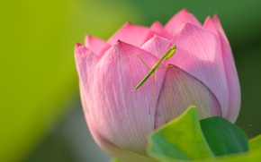Картинка макро, богомол, лотос, насекомое