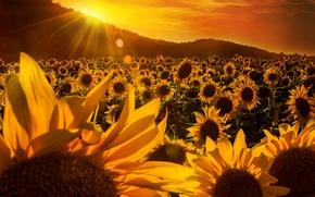 Картинка поле, небо, деревья, подсолнухи, холмы, желтые, лучи солнца