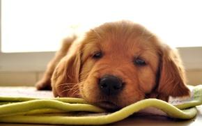 Обои лабрадор ретривер, взгляд, коврик, песик, щенок