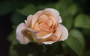 Картинка макро, цветы, природа, розы