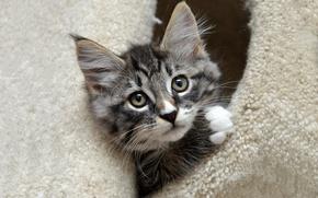 Обои норка, домик, мордочка, милый, мех, котенок, выглядывает, полосатый, серый, кошка, портрет