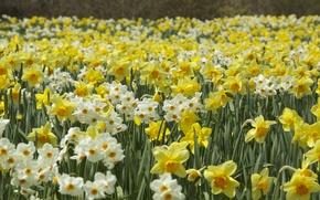 Обои нарциссы, плантация, весна