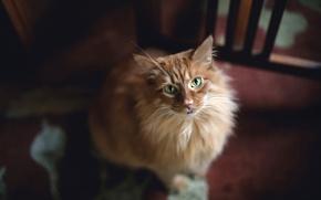 Картинка взгляд, зелёные глаза, рыжая кошка