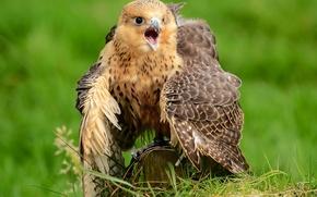 Обои перья, сокол, птица