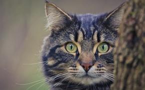 Обои кошка, глаза, кот, взгляд, фон