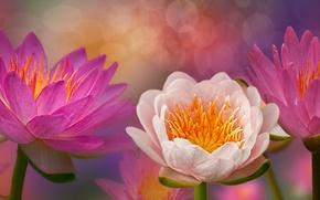 Картинка цветы, цветение, водяные лилии