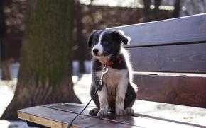 Картинка собаки, dog, бордер колли