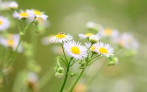 Картинка цветы, зеленый, фон, widescreen, обои, ромашки, размытие, ромашка, насекомое, wallpaper, цветочки, flower, широкоформатные, flowers, background, …