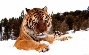 Обои взгляд, лапы, снег, зима, морда, тигр, серьёзный, лес