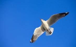 Обои небо, полет, птица, чайка