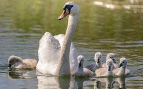 Обои семья, мама, водоем, лебедь, птенцы, прогулка