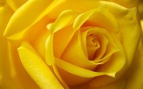 Картинка макро, роза, бутон, жёлтая роза