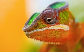 Картинка животное, Хамелеон, цветной