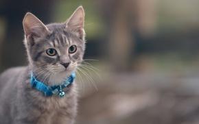 Картинка кошка, кот, серый, ошейник, котёнок