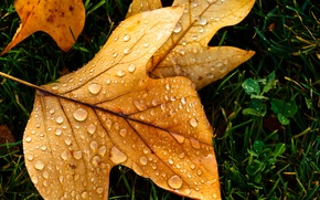 Картинка осень, капли, макро, лист