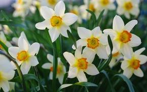 Обои лепестки, весна, нарциссы