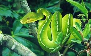 Картинка viper, snake, tree, reptile