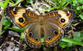 Картинка природа, узор, бабочка, крылья, насекомое, мотылек