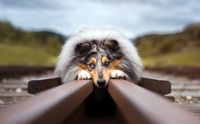 Картинка взгляд, друг, рельсы, собака