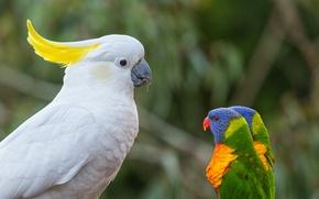 Картинка птицы, попугаи, босс, многоцветный лорикет, какаду, лорикеты