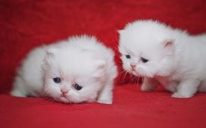 Картинка котята, малыши, парочка, милашки, Персидская кошка