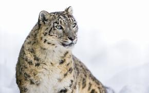 Картинка ирбис, снежный барс, большая кошка