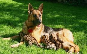 Картинка собака, котята, пума, овчарка, материнство, кормление, детёныши пумы