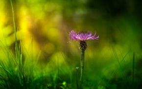 Картинка зелень, цветок, трава, макро, блики, сиреневый, лепестки, размытость, Василек