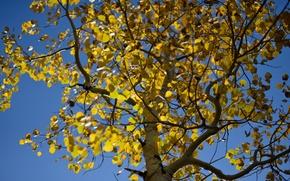 Картинка осень, небо, листья, дерево, осина