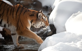 Картинка кошка, снег, тигр, ручей, профиль, амурский