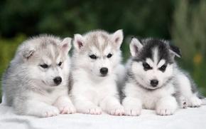 Картинка щенки, трио, хаски