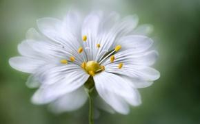 Обои цветок, лепестки, тычинки