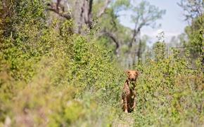 Картинка рыжая собака, кустарник, тропа
