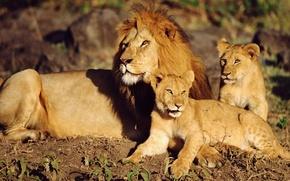 Картинка лев, львята, Дикие кошки
