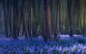 Картинка деревья, цветы, природа, размытость, Лес, колокольчики, синие