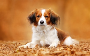 Картинка собака, портрет, взгляд, Коикерхондье, осень, листья