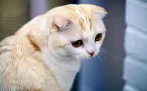 Обои кошка, взгляд, усы, морда, кот