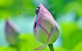 Картинка зелень, цветок, макро, цветы, насекомые, зеленый, фон, стрекоза, бутон, лотос