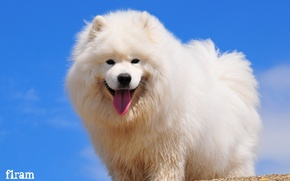 Картинка взгляд, радость, собака, самоед