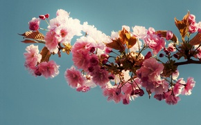 Картинка листья, фон, ветка, Голубой, розовые цветы
