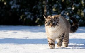 Обои кошка, снег, зима, природа, тени, кот
