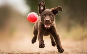 Обои собака, взгляд, мяч, друг